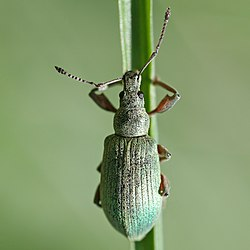 Phyllobius calcaratus, a species of weevil
