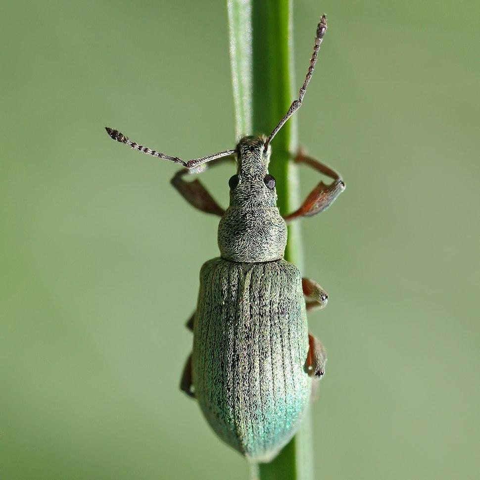 Phyllobius calcaratus spornblattrüßler quadrat