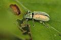 Phyllobius sp 1.jpg