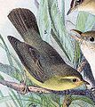 Phylloscopus affinis 1889.jpg