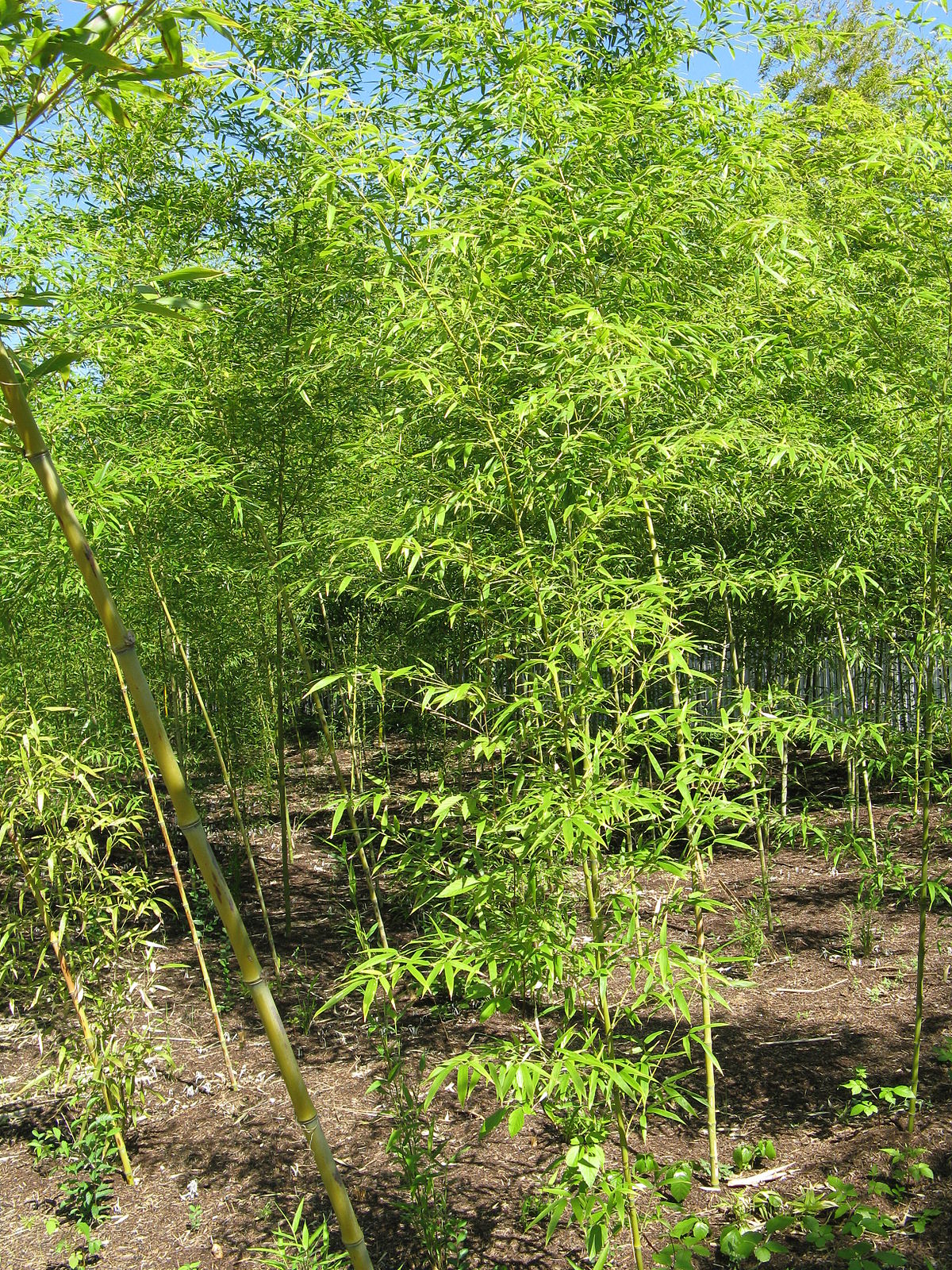 phyllostachys wikispecies. Black Bedroom Furniture Sets. Home Design Ideas