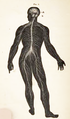 Physiology for Young People - 1884 - The nervous system (cropped).png