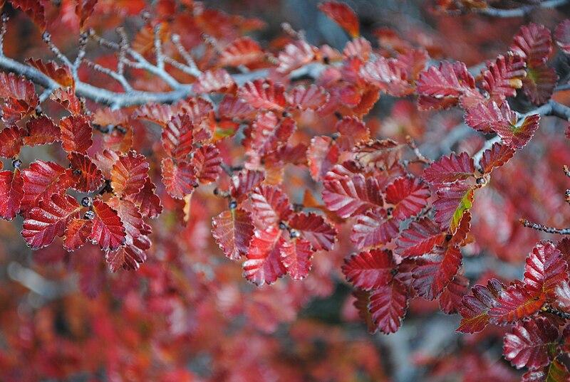 feuillage en automne du nothofagus pumilio