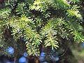 Picea maximowiczii.JPG