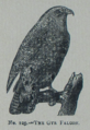 Picture Natural History - No 129 - The Gyr Falcon.png