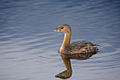 Pied-billed grebe.jpg