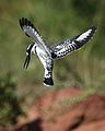 Pied Kingfisher, Ceryle rudis, at Pilanesberg National Park, South Africa (28442945966).jpg