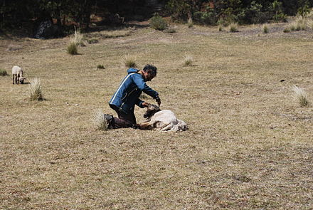 Shearing a sheep near Zacatlan PiedrasEncimadas35.JPG