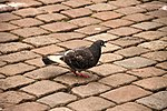 Pigeon! (14014371457).jpg