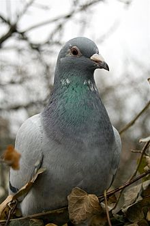 A picture of a pigeon.