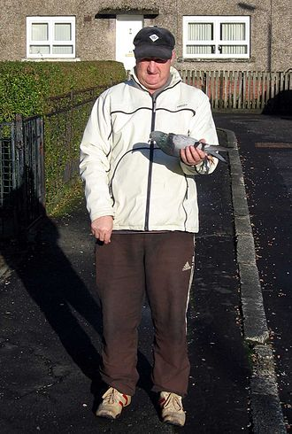 Pigeon keeping - A pigeon fancier with his racing pigeon