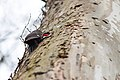 Pileated woodpecker (18991658928).jpg