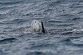 Pilot Whales (24236236012).jpg