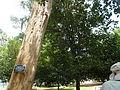 Pimenta Citifolia Jardin botanique de Peradeniya Kandy.JPG
