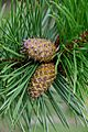 Pine tree, Jodrell Bank 3.jpg