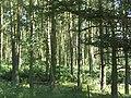 Pine wood, Eglingham Moor - geograph.org.uk - 1604749.jpg