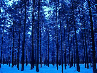 Climate of Estonia - Young pines stand in winter