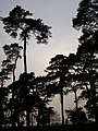 Pines on the western edge of Norley Inclosure, New Forest - geograph.org.uk - 407157.jpg