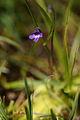 Pinguicula vulgaris - Vitranc 2.jpg
