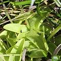 Pinguicula vulgaris var. macroceras (leaf s3).jpg