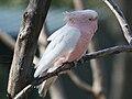 Pink Cockatoo (Lophochroa leadbeateri) RWD.jpg