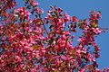 Pinkflowertree - West Virginia - ForestWander.jpg