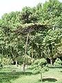 PinusTabulaeformis.jpg