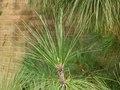 Pinus Canariensis needles.TIF