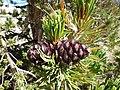 Pinus albicaulis (7888769364).jpg