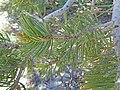 Pinus edulis. 2017.06.04 12.29.03 DSC00126 - Flickr - andrey zharkikh.jpg