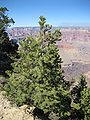 Pinus edulis Grand Canyon South Rim.jpg