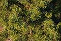 Pinus edulis foliage ianloic.jpg