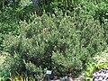 Pinus mugo-ffm008.jpg