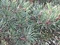 Pinus silvestrys - Beli bor (4).jpg