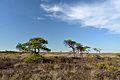 Pinus sylvestris Marimetsa Bog2.jpg