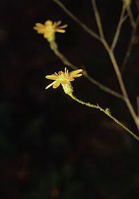 P. graminifolia