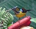 Plain-throated Sunbird (31068311687).jpg