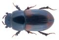 Planolinus vittatus mundus (Reitter, 1892).png
