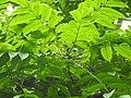 Plant Canarium resiniferum flowers DSCN8619 01.jpg