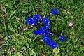 Plants from Vallon peaks Sella 15.jpg