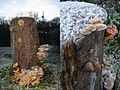 Pleurotus ostreatus (Oyster Mushroom, D= Austernseitling, F= Pleurote en forme d'huître ou P. en coquille, NL= Gewone oesterzwam) white spores and causes white rot, at the Parkweg in lots of hail and ice after a frosty - panoramio.jpg