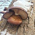 Pleurotus ostreatus 103894474.jpg