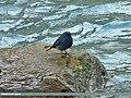 Plumbeous Water Redstart (Rhyacornis fuliginosa) (15399934474).jpg