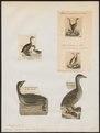 Podilymbus podiceps - 1700-1880 - Print - Iconographia Zoologica - Special Collections University of Amsterdam - UBA01 IZ17800115.tif
