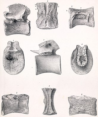 Poekilopleuron - Megalosauroid dorsal vertebrae referred by Owen to Poekilopleuron.