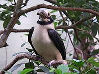 Polillo Tariktik-Hornvogel 2007-05-25 088.jpg