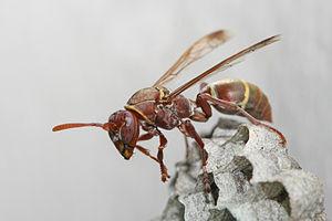 Polistes - Image: Polistes sp wasp