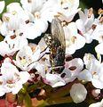 Pollenia species. Calliphoridae - Flickr - gailhampshire (2).jpg