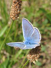 Animal Totem 2014, le Papillon dans PAPILLON 179px-Polyommatus_icarus-01_%28xndr%29