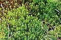 Polytrichum commune Bryophyte.jpg